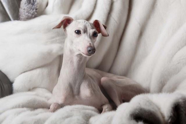 Italian Greyhound lap