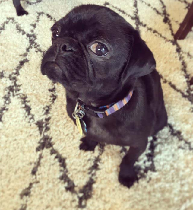 Dex the pug has recovered from Mange