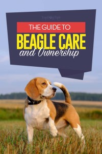 The Beagle Breed Profile
