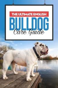 The English Bulldog Breed Profile
