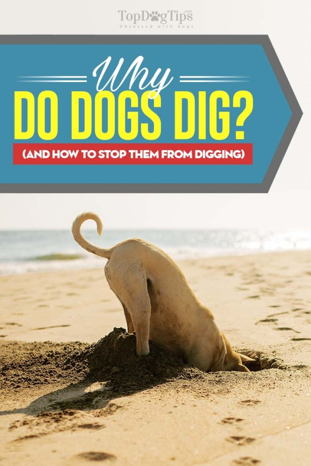Tips on Why Do Dogs Dig and How to Stop Them