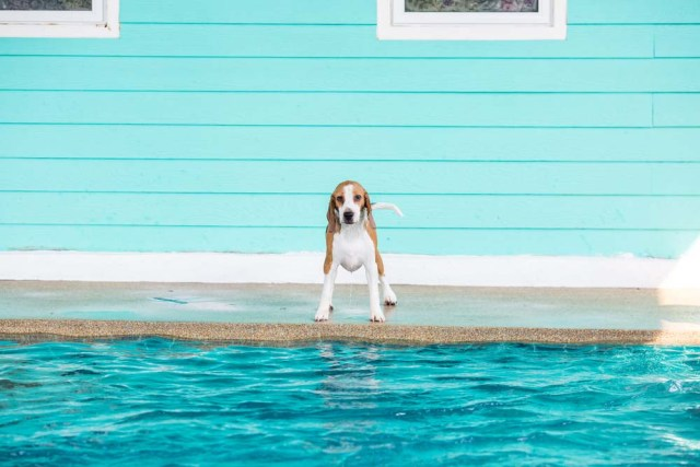 This Beagle is ready to swim