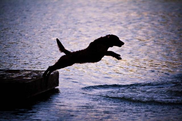 Chesapeake Bay Retriever swimming dog