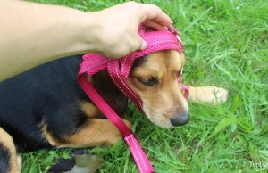 How to put on over-the-head dog harness on your pet