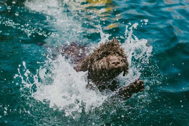 Spanish Water Dog is having fun swimming in a pool