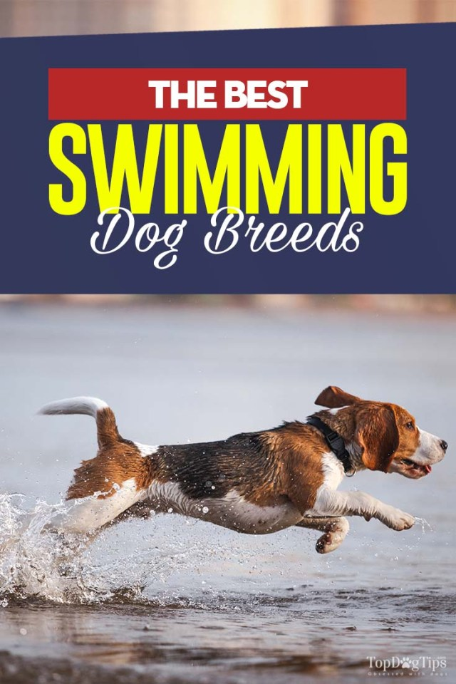 The 20 Best Swimming Dogs that Enjoy Water