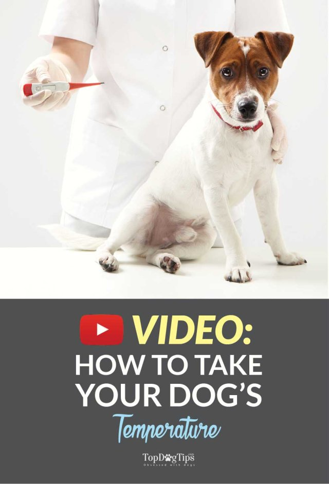 Guide on How To Take A Dog Temperature With a Thermometer