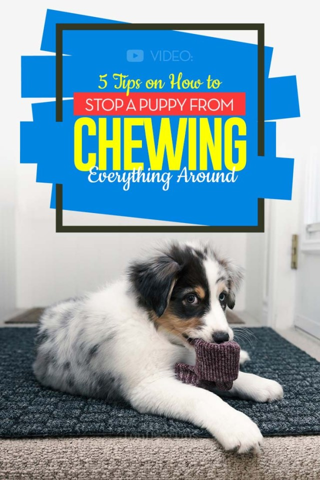 5 Best Tips on How to Stop a Puppy from Chewing Everything Around