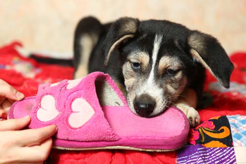 How to Stop a Puppy from Chewing Everything in Your House