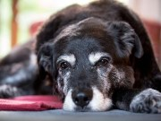 8 Signs of Aging in Senior Dogs