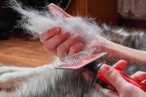 Seasonal shedding of double coated dogs