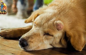 Treating Canine Cancer with Coley's Toxins - Podcast