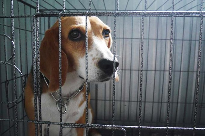 A Timeline of How Beagles Were Used in Lab Experiments
