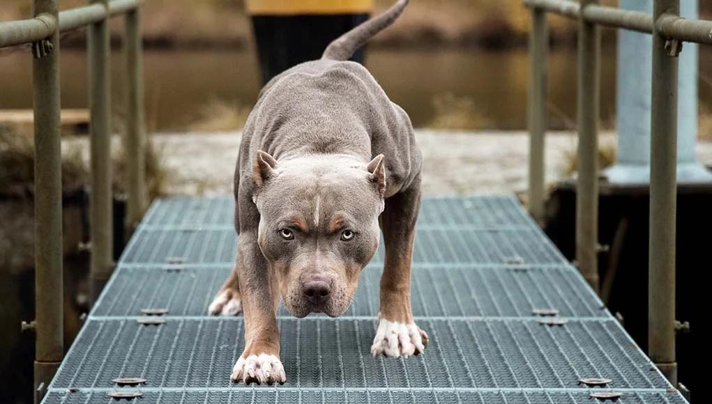 13 Banned Dog Breeds 2020