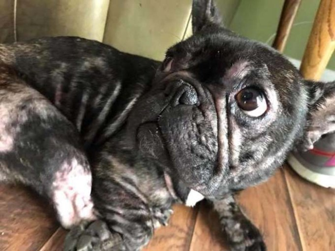Abused French Bulldog from Puppy Mill Shows the True Meaning of Resilience