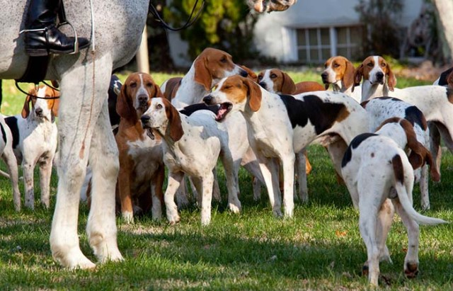 American Foxhound is among the true American dog breeds