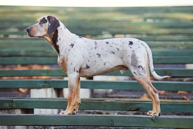 American Leopard Hound is among the true American dog breeds