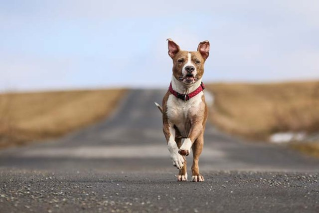 American Staffordshire Terrier is among the true American dog breeds