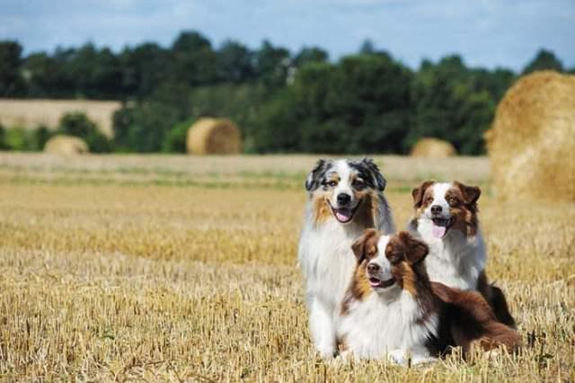 Australian Shepherd is among the true American dog breeds