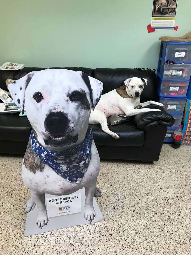 Bentley has been getting training at the shelter. He can understand basic commands