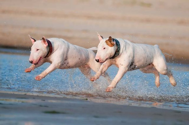 Bull Terrier dogs are some of the worst swimmers
