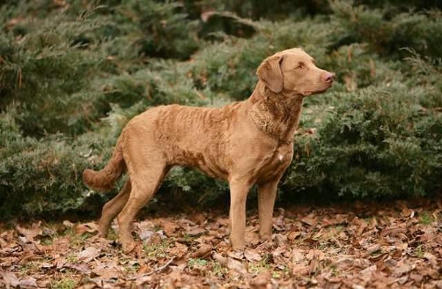 Chesapeake Bay Retriever is among the true American dog breeds