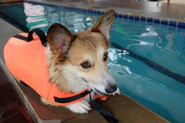 Corgi dogs are some of the worst swimmers
