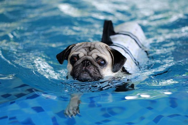 Pug dogs are some of the worst swimmers