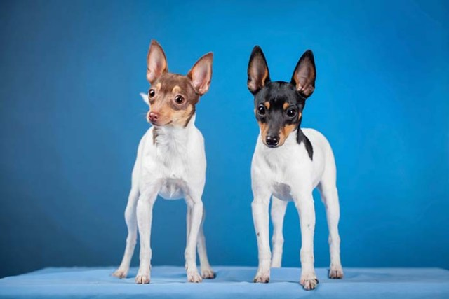 Toy Fox Terrier is among the true American dog breeds