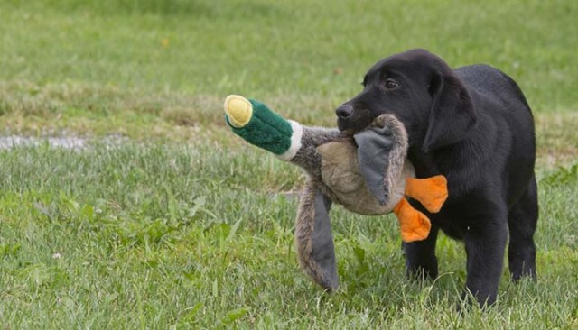 A Helpful Training Timeline for Training Puppy Hunting
