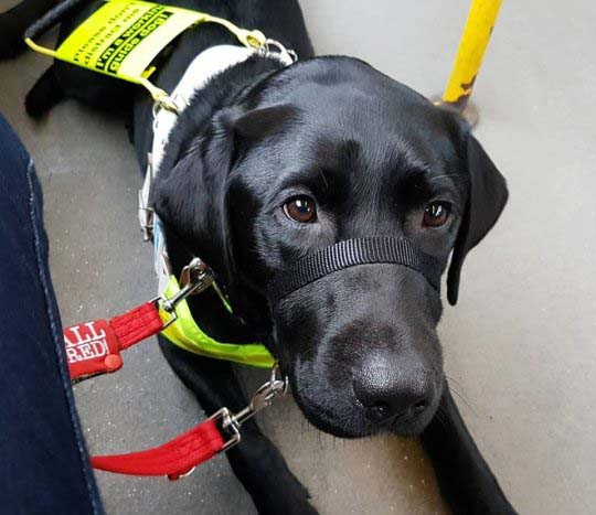 Rowley the guide dog