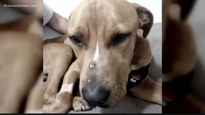 Severely Hurt Dog Shot in the Face and Left for Dead in the Woods Has Been Rescued