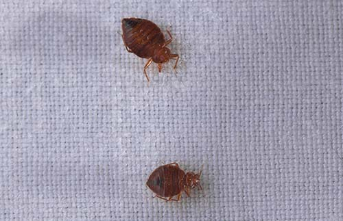 What a bed bug looks like picture