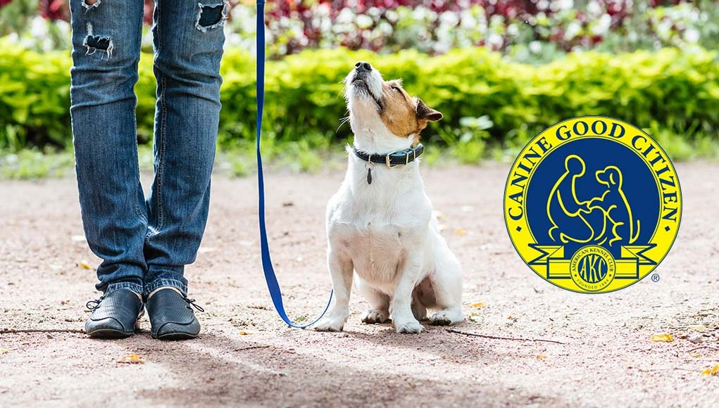 AKC Canine Good Citizen Certification - Everything You Need to Know