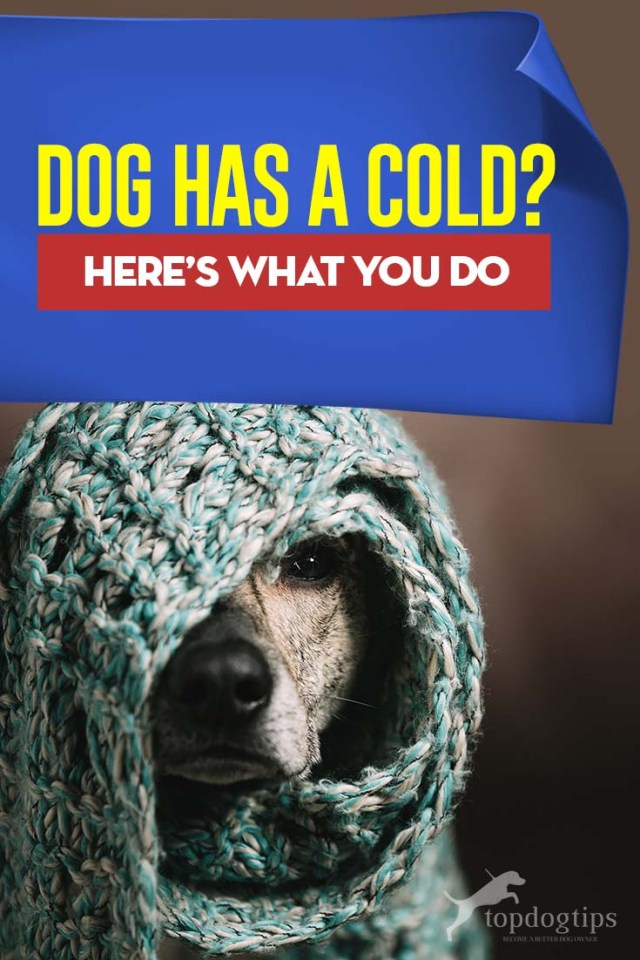 My Dog Has a Cold - What Do I Do