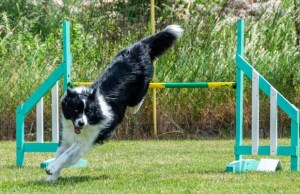 Best Dog Agility Jumps
