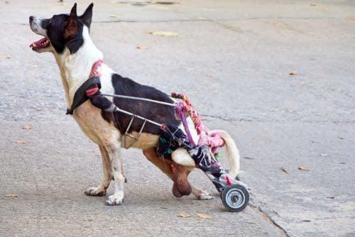 Degenerative Myelopathy in Dogs