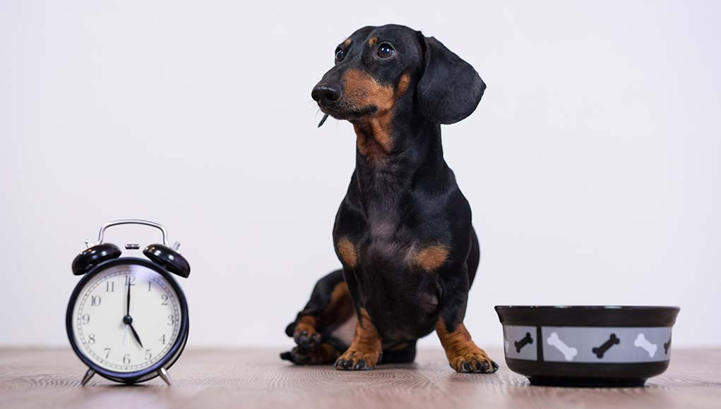 Intermittent Fasting for Dogs - Good or Bad