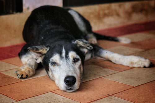 Lumbosacral Stenosis in Dogs