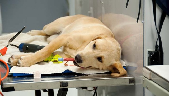 Spaying and Neutering a Dog