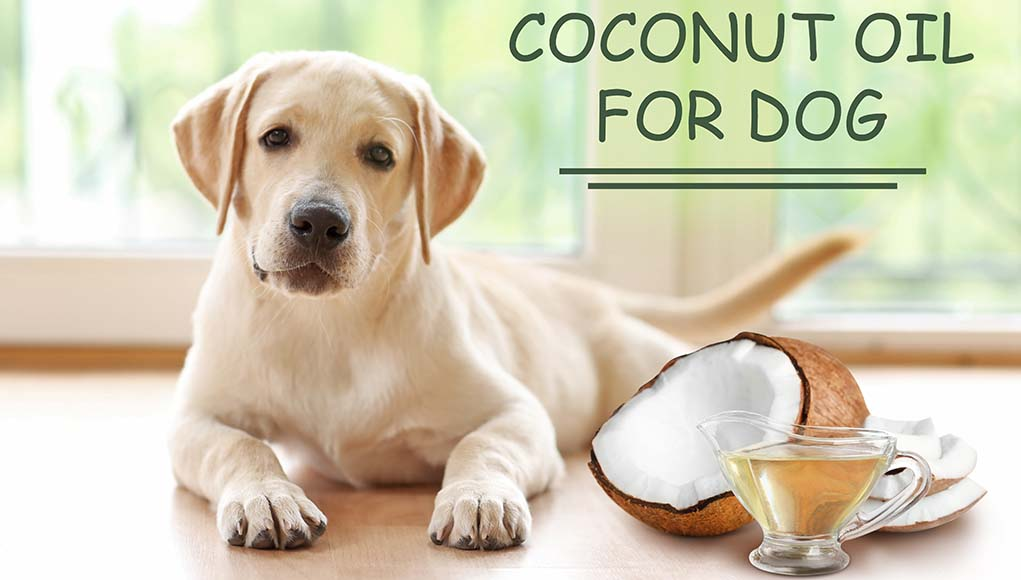 How to Use Coconut Oil for Dog Skin Problems (Based on Studies)