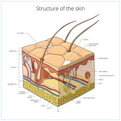 Dog skin structure and layers