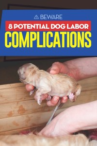 The 8 Potential Dog Labor Complications