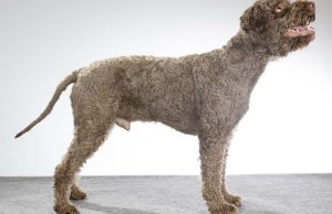 Dogs with Hair (And Not Fur)