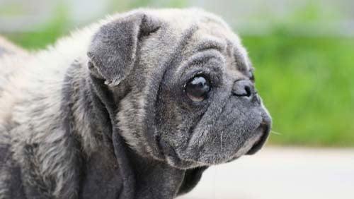 Dry Skin in Dogs