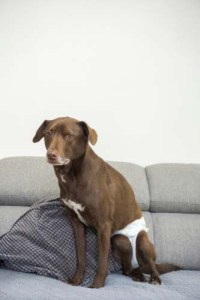 Spay Incontinence