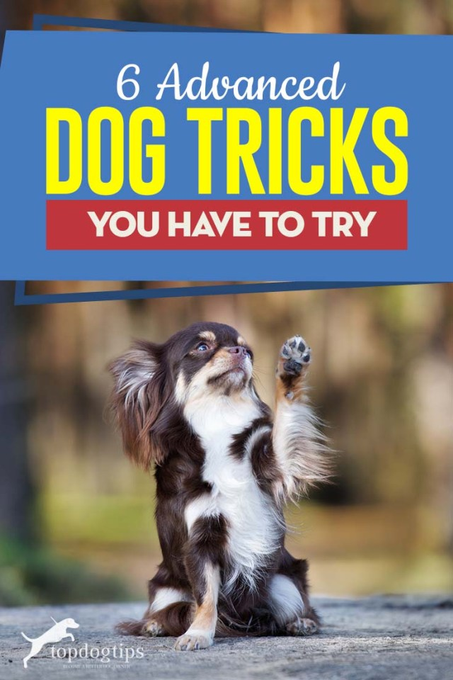 Top 6 Advanced Dog Tricks You Have to Try