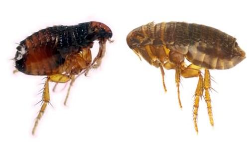 Cat flea vs dog flea