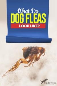 What Do Dog Fleas Look Like