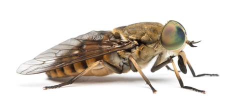 Are Fly Bites Dangerous to Dogs